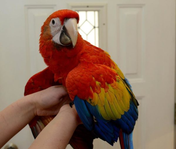 Buy blue and gold macaw online UK