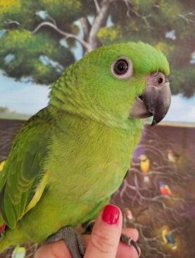 YELLOW NAPED AMAZON FOR SALE