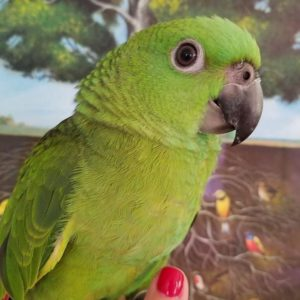 Yellow Naped for Sale